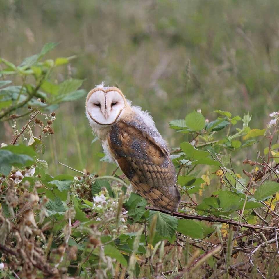 A beautiful Barn owl. title OWL by John Davies on