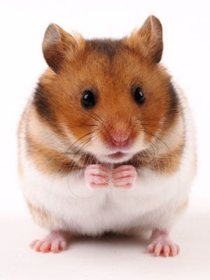 Your Top 100 Pet Questions Answered Syrian Hamster Hamster Cute Hamsters