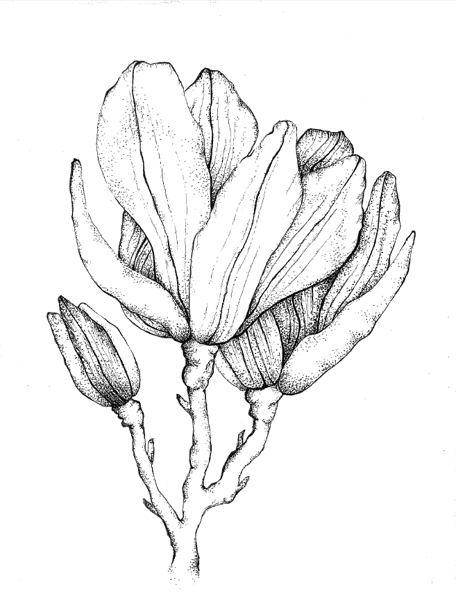Magnolia Floral Print Black White Sketch With Touches Of Color For