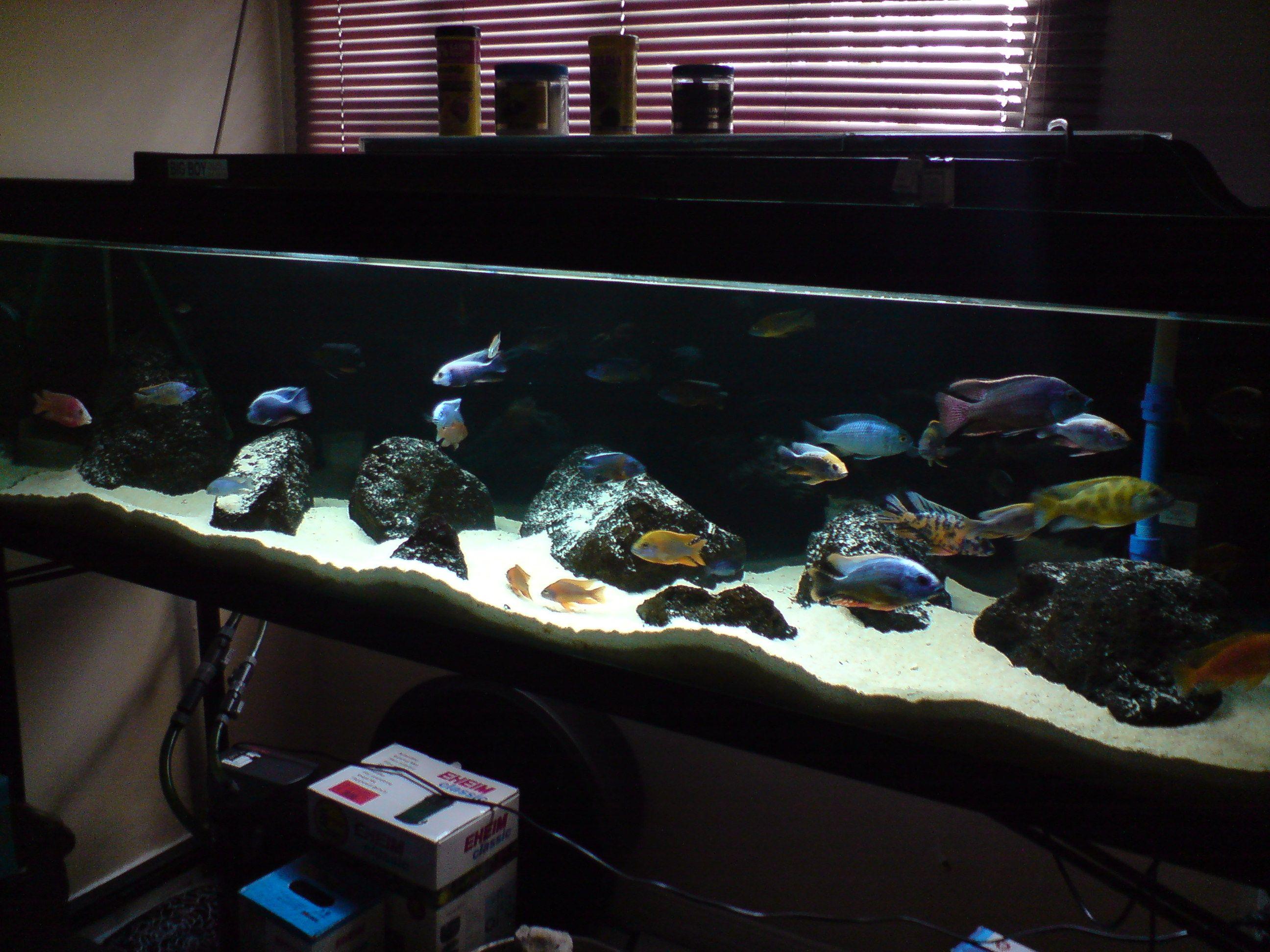 all male peacock cichlid tank Google Search Aquarium