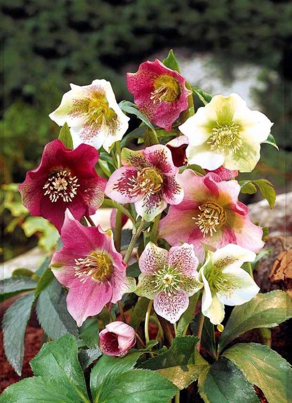 Roses de no l en m lange willemsefrance serres et jardin d 39 hiver pinterest rose de noel - Rose de noel en pot ...
