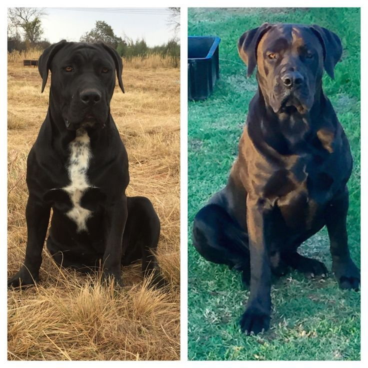 Simple Boerboel Black Adorable Dog - 3bbf9510fe741614e9ab3414173d0198  Graphic_805242  .jpg