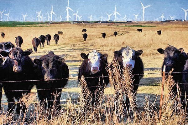 West Kansas Economics,Cow,Cattle,Cows on a wind farm,Commercial wind mills,Wind farm,Windmills,Commercial windmills,Windmills and cattle,ranch,ranching,commercial beef,ks economies,the economic impact,renewable energy,green energy,energy production,jC Findley,windfarm