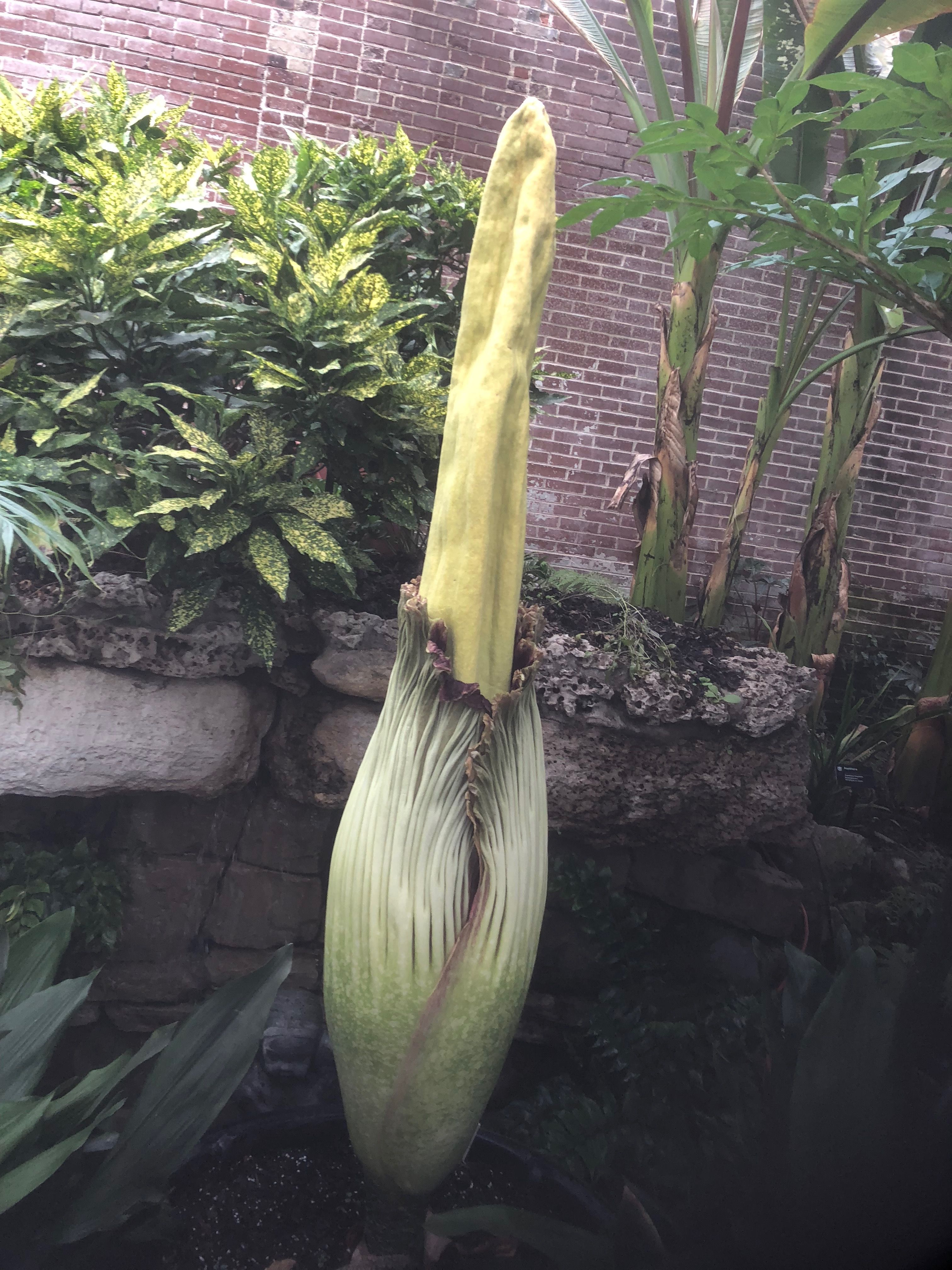 Titan arum it Is about to open and it will smell bad like