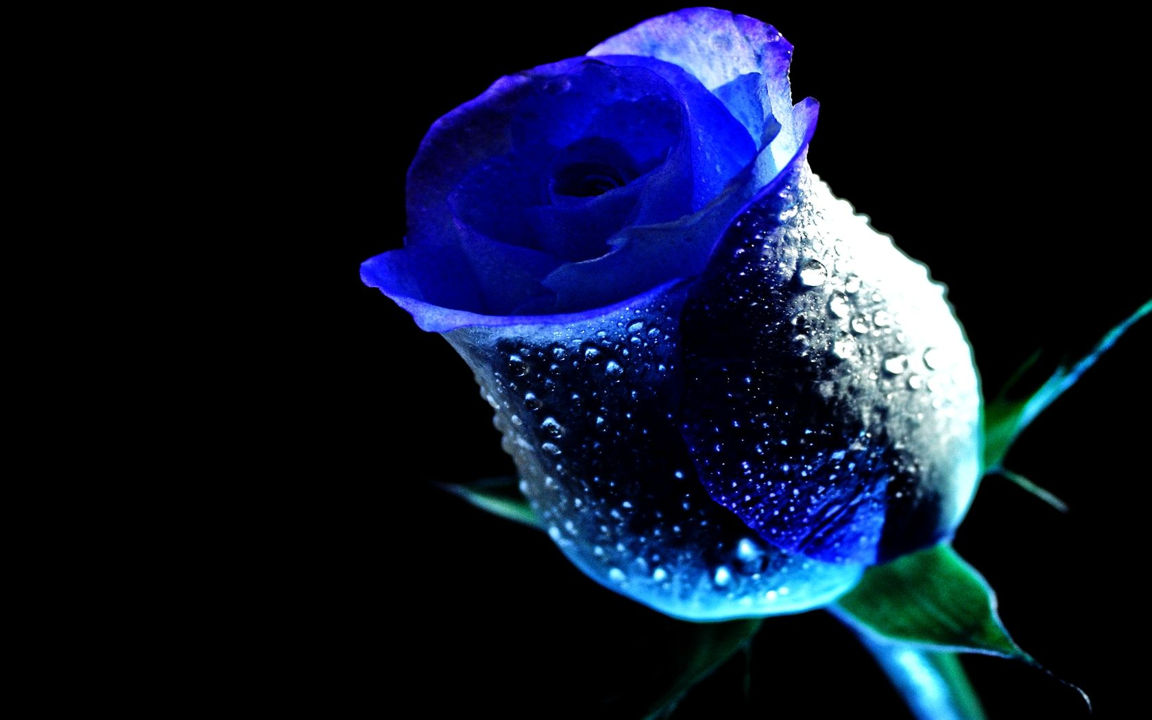 Blue Roses Wet Rose Blue Dew Drop Flower Rose Water Brian