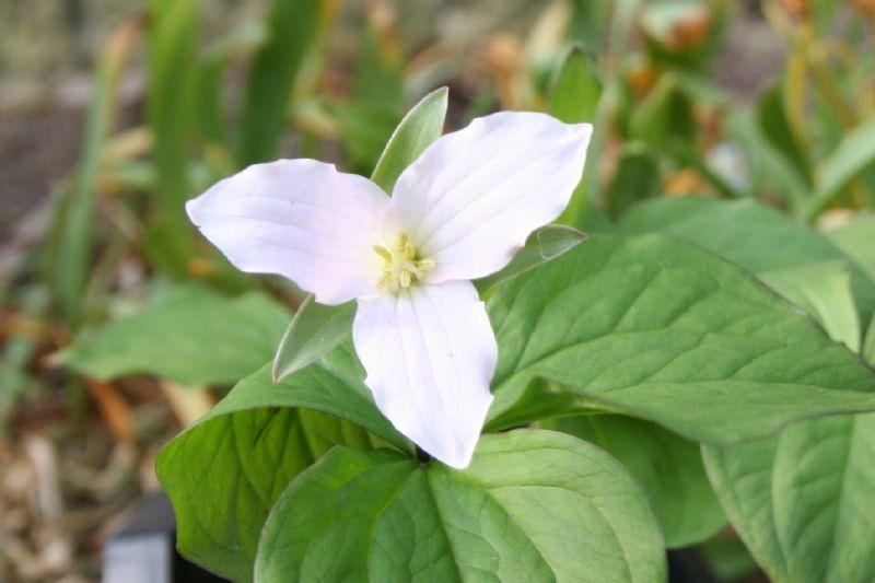 trillium grandifloris. Bloei: 4-5. hoogte: 30 cm