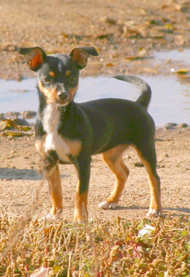 Rat terrier names