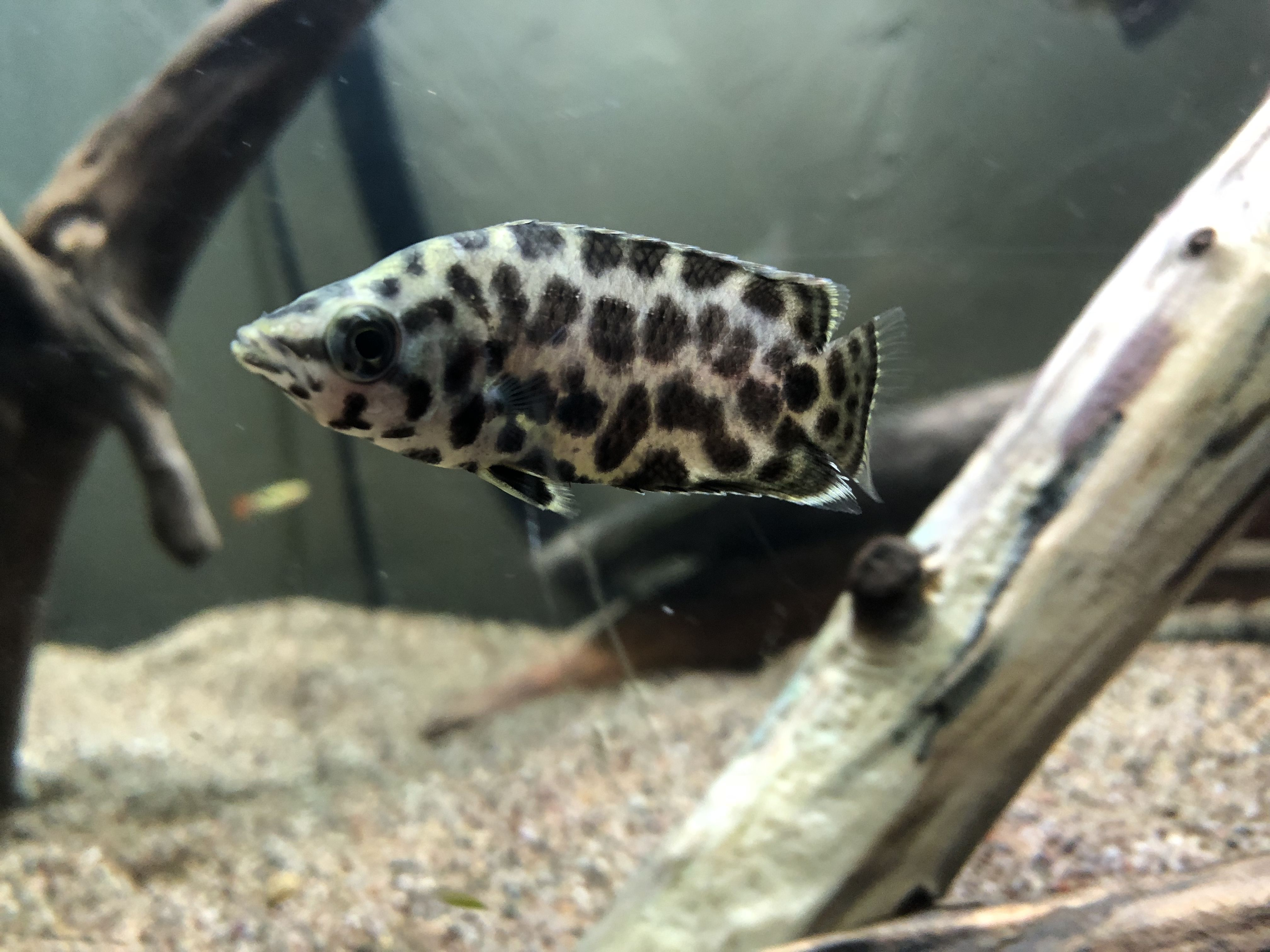 Spotted African Leaf Fish Fish For Sale Fish Live Aquarium Fish