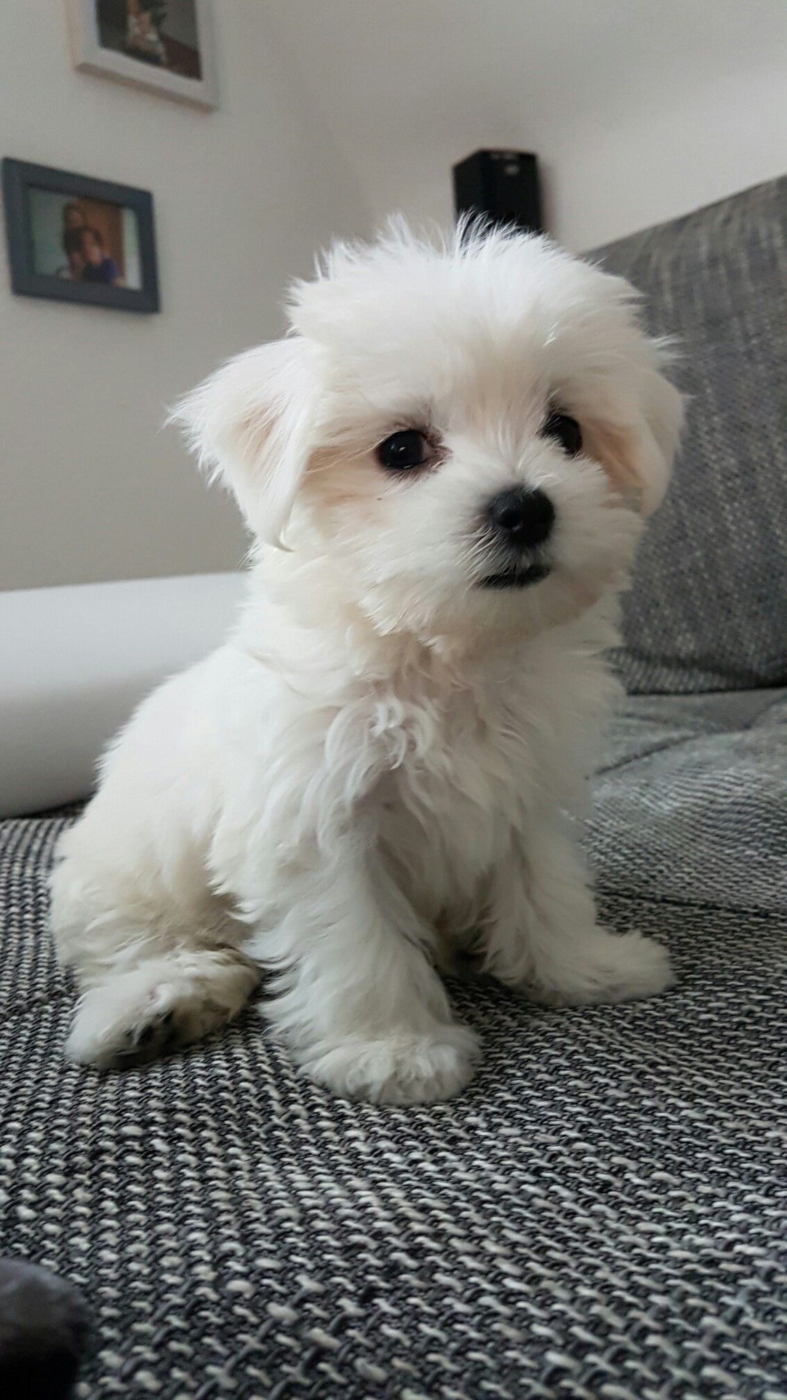 Bichon Maltes In 2020 Malteser Hund Welpen Malteserwelpen