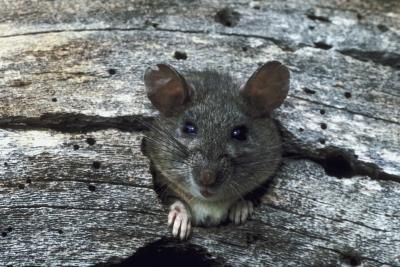 How To Keep Rats Out Of Your Yard Hunker Getting Rid Of Rats Rat Infestation Rodents