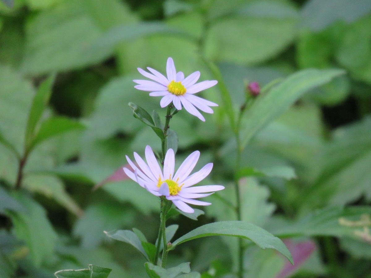 キクの仲間.  Chrysanthemum. 6 November 2016.