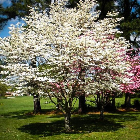 Cherokee Princess Dogwood Tree Dogwood Trees Landscape Trees Flowering Trees
