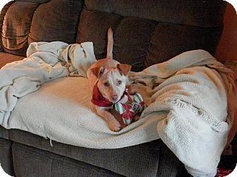 Kenyon Mn Chihuahua Dachshund Mix Meet Richard A Puppy For
