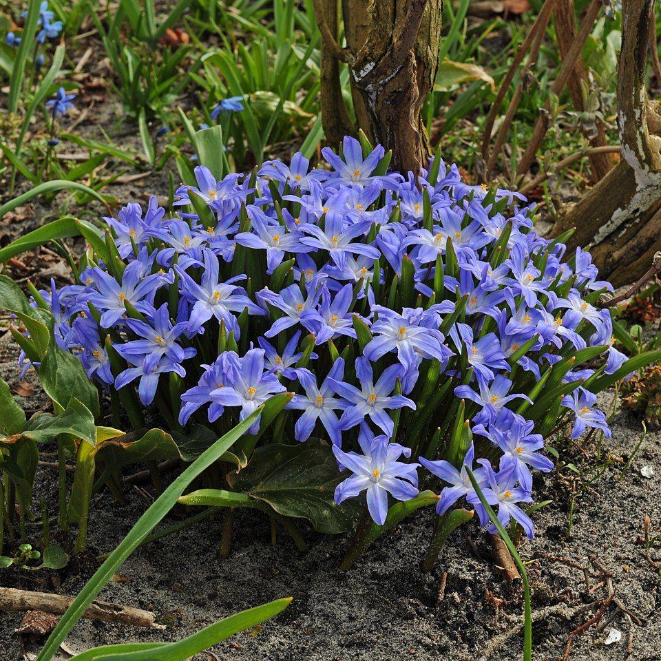 Chionodoxa luciliae Sipulikukat puutarhassani