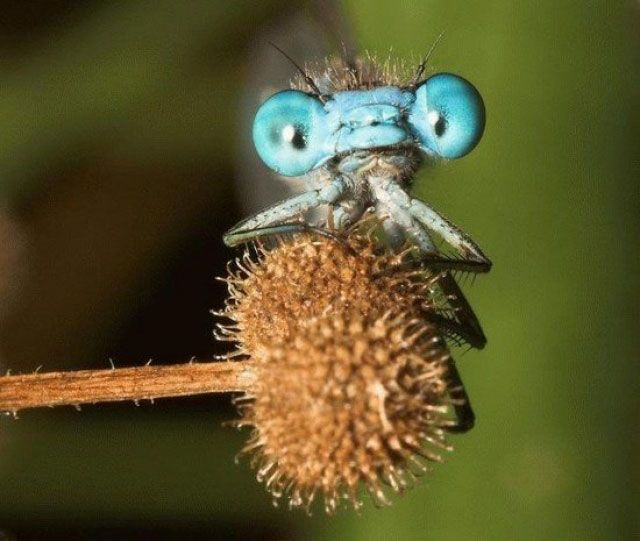 insecto azul