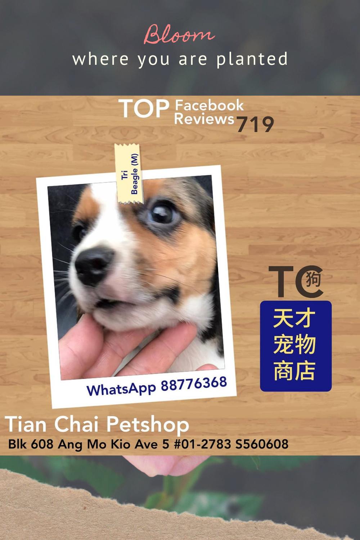 Imported Beagle Puppies Singapore #beagle #beaglesofinstagram #dogsofinstagram #dog #beaglelove #beaglelife #dogs #beagles #beagleworld #beaglepuppy #puppy #beaglemania #dogstagram #doglover #dogoftheday #instadog #doglovers #love #beagledog #cute #beaglegram #beaglelover #doglife  #beagledaily #pet #beagleoftheday #beaglelovers