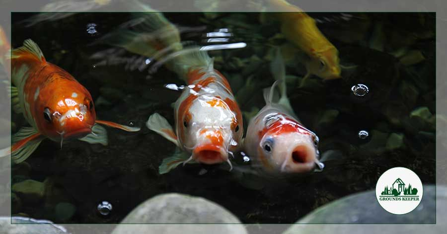 Here are some fun human foods that you can feed your koi