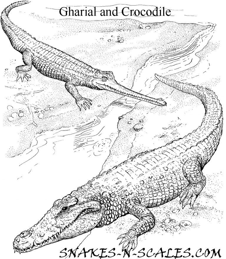 Gharial And Crocodile Coloring Page 8211 Snakes N Scales