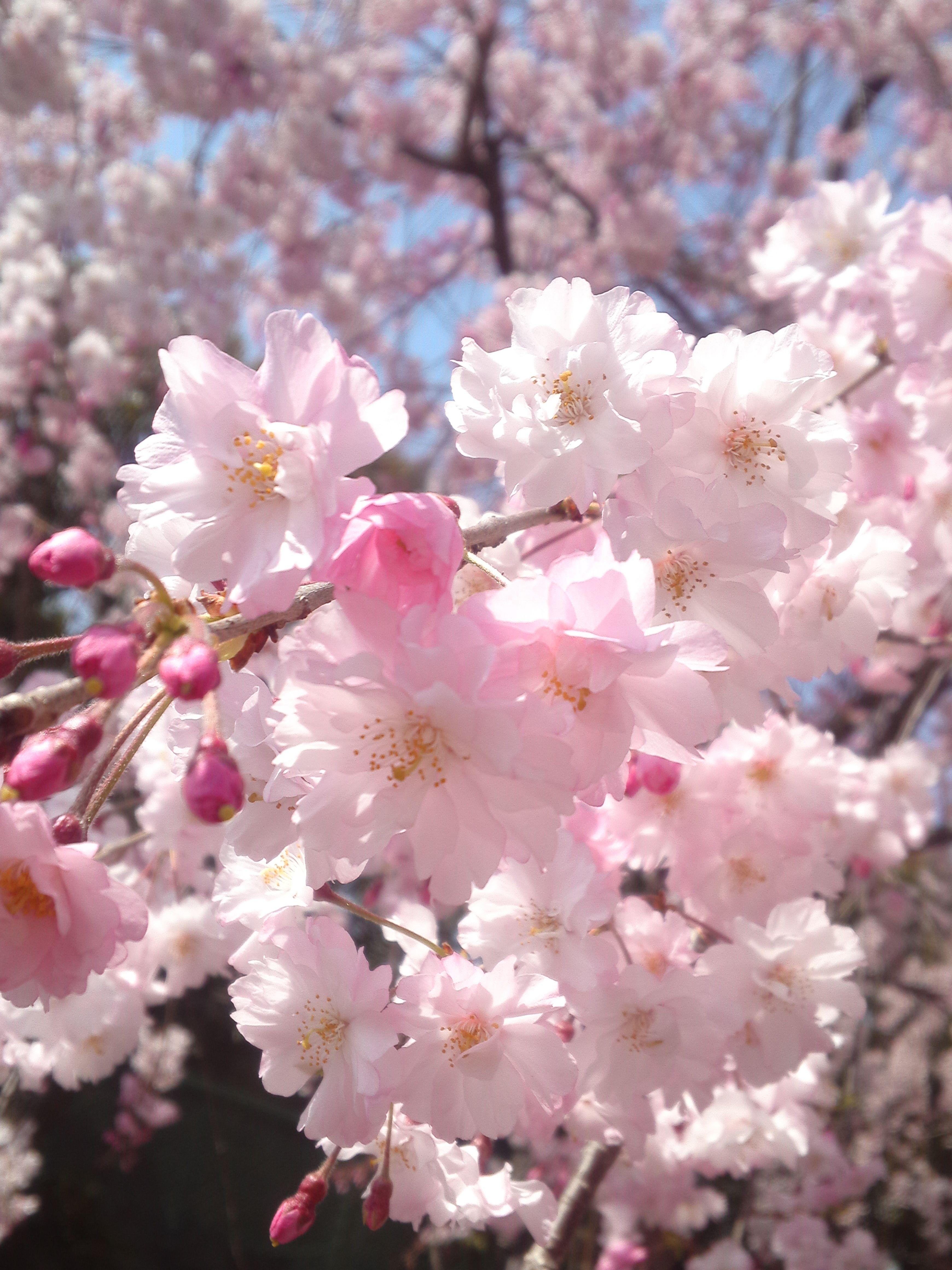 Flower Close Up Of Cherry Blossom Hd Desktop Wallpaper Free High Cherry Blossom Wallpaper Apricot Blossom Cherry Blossom Flowers