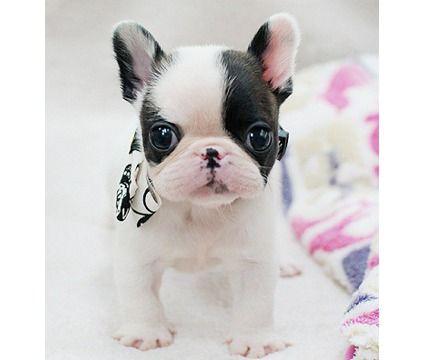 French Bulldog Playful And Smart Bulldog Puppies French