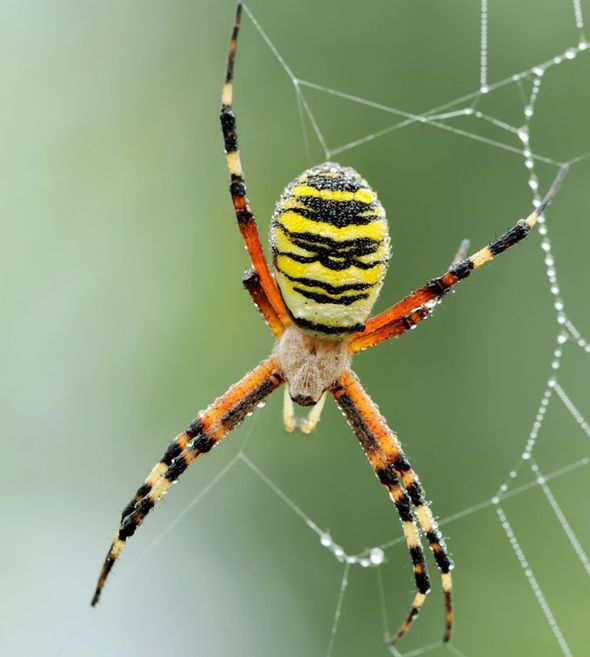 Do you recognise the UK\'s scariest spiders? | Spider killer, Wolf ...