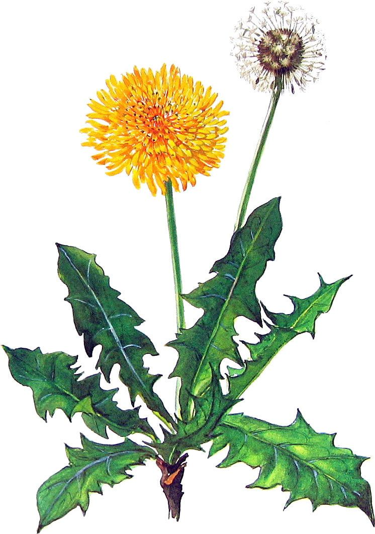 Pin By Susan Wright On Tampopo Dandelion Art Flower Painting Botanical Art
