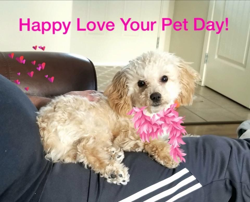 Macie Our Loving Toy Poodle Pup Love Your Pet Day Poodle Puppy