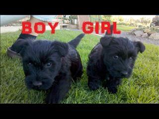 Pure Breed Scottish Terrier Puppies Scottish Terrier Puppy Terrier Puppies Puppies