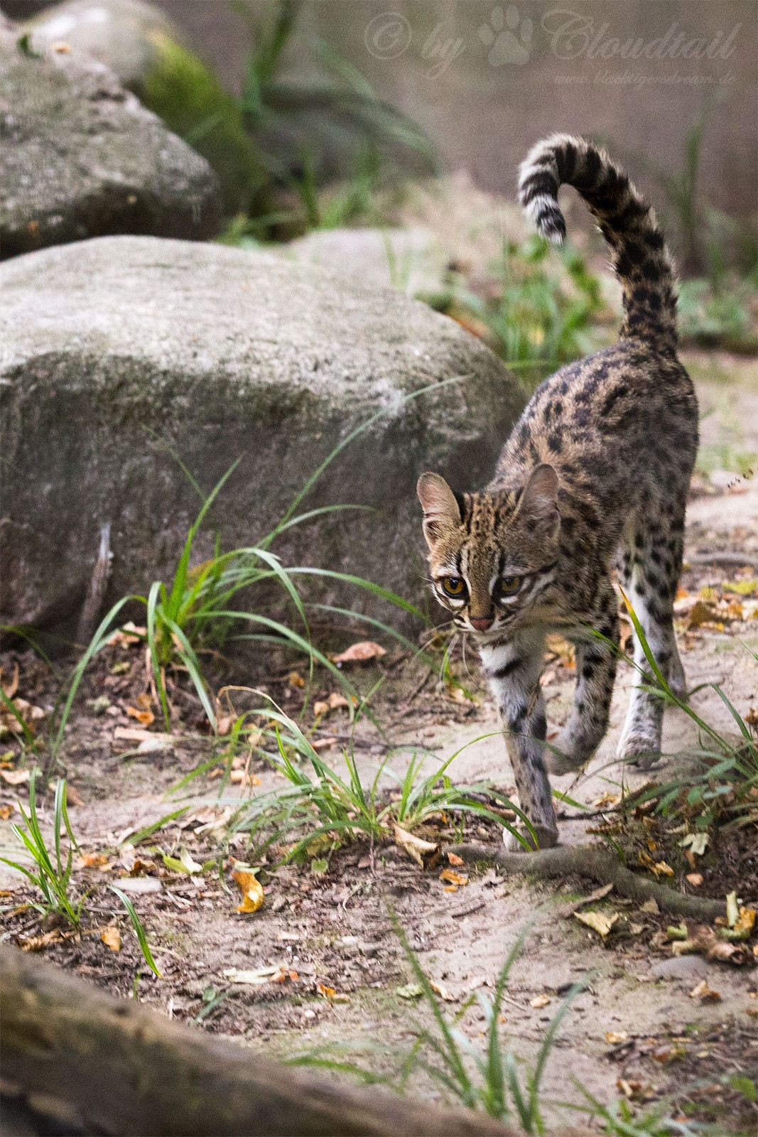 Tiger Cat With Images Wild Cats Small Wild Cats Spotted Cat