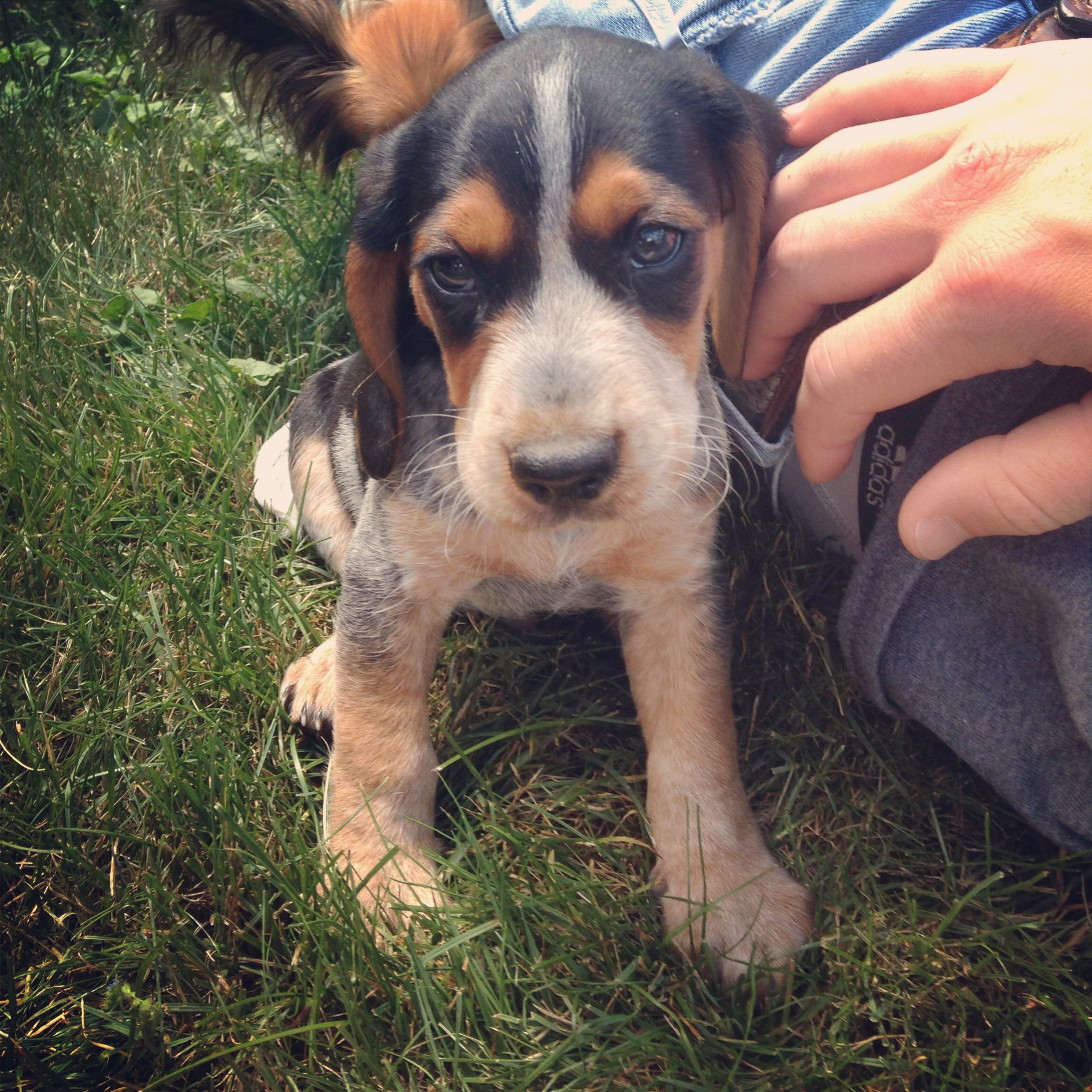 Our New Puppy Milo At 7 Weeks Bluetick Coonhound Beagle Mix