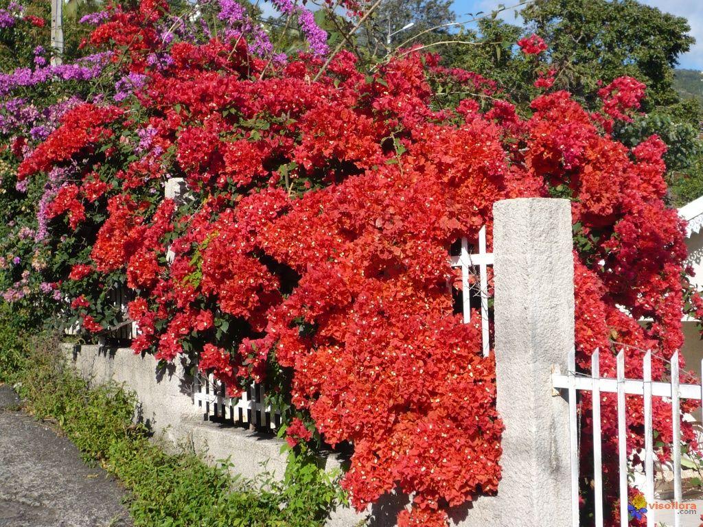 Bougainville Fleur se rapportant à 10 lush bougainvillea varieties | bougainvillea, gardens and plants