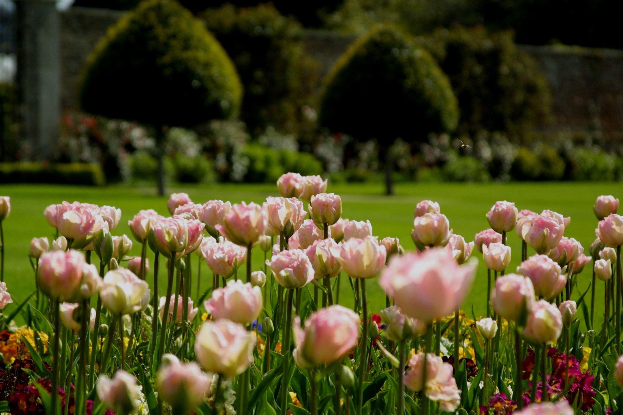 Beautiful Spring Tulips at Powerscourt Gardens, County Wicklow, Ireland