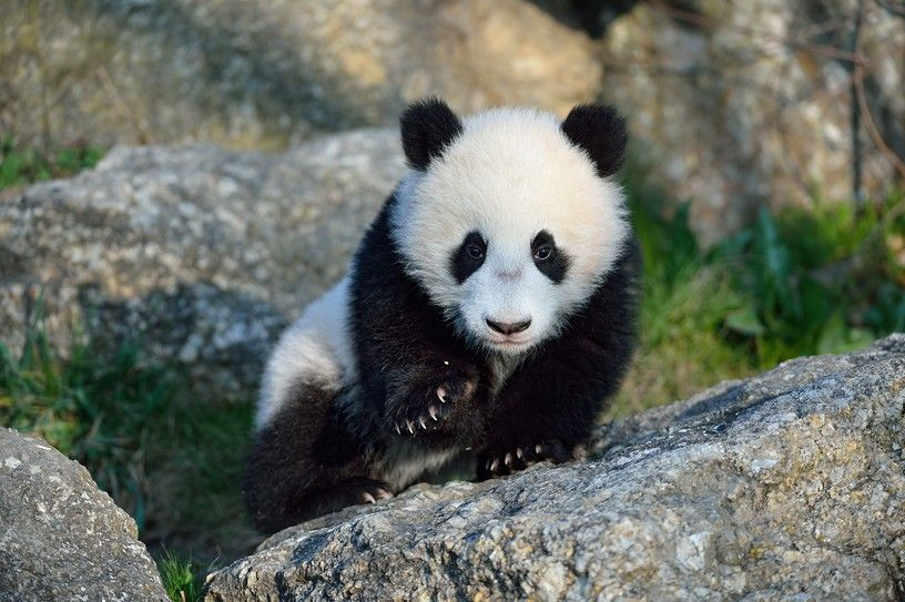 today was the first excursion of little Fu Bao in the nature, he is - imagenes de baos