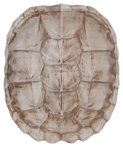 Turtle Shell White One Kings Lane Turtle Shell Shells Turtle