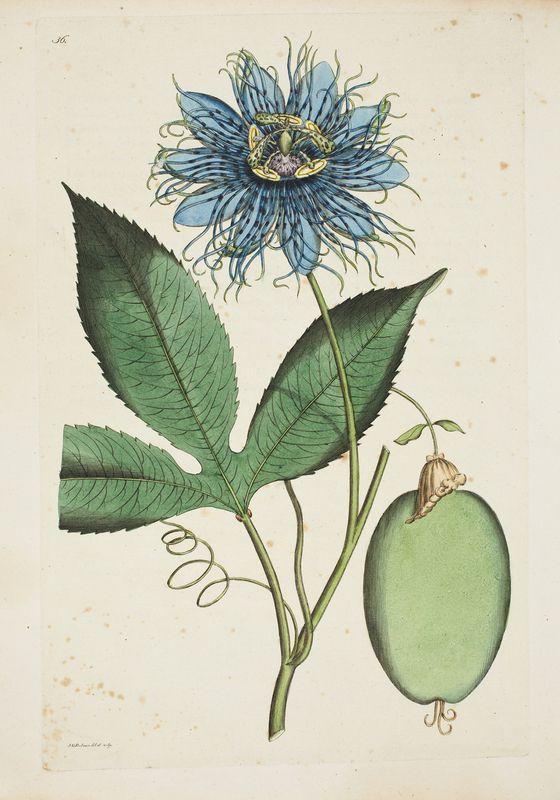 7eecaf8ad True passionflower Magasin för Blomster-Älskare och Idkare av  Trädgårds-Skötsel, (Stockholm, 1803) Author: PFEIFFER, August (1777-1842)