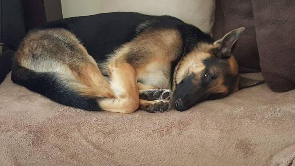 Resultado de imagen para german shepherd sleeping funny