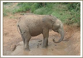 Keepers Diary Bongo mud bathing