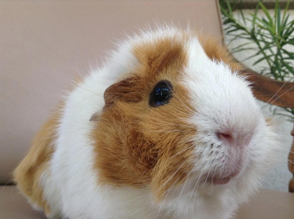 Can Guinea Pigs Eat Cooked Foods Guineapiggenius