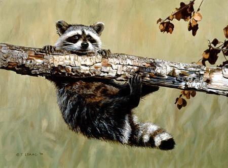 Terry Isaac Chin Up Raccoon