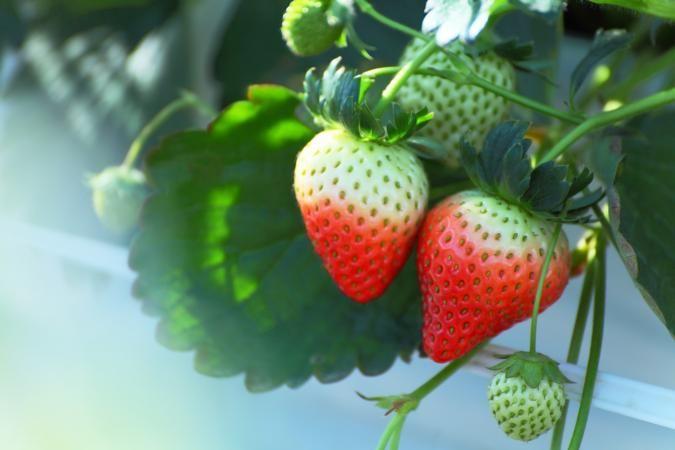 Strawberries Summer Mulching