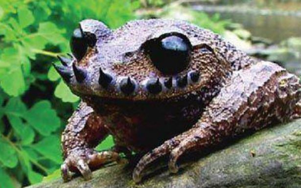 """Leptobrachium boringii, commonly known as the Emei moustache toad or Taosze spiny toad, is a species of amphibian in the family Megophryidae. It is endemic to China where it is found in Sichuan, Guizhou, and Hunan provinces. """"Emei"""" or """"Taosze"""" in its common names refer to its type locality, Taosze on Mount Emei, Sichuan.[2] Its natural habitats are temperate forests, grassland, arable land, and rural gardens near rivers. It is threatened by habitat loss.[1]"""