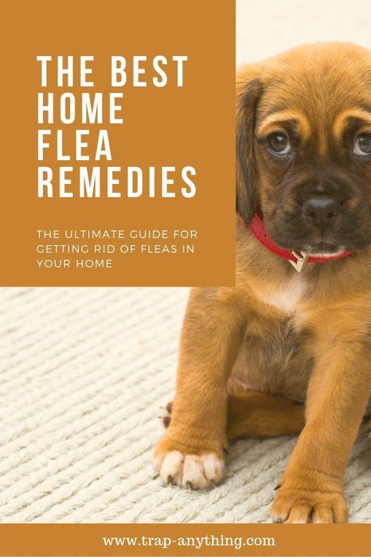 Home flea remedies best natural treatments home
