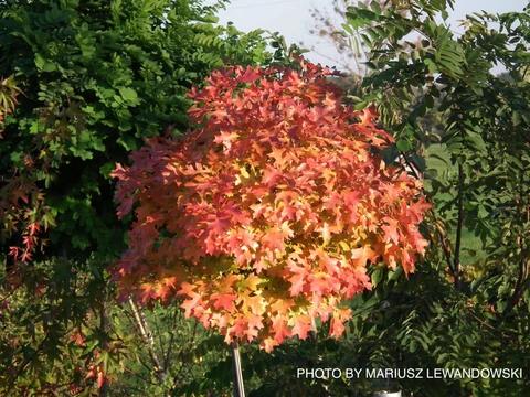 Quercus Palustris Green Dwarf Dwarf Pin Oak Tree Japanese Maple Tree Oak Tree Coral Bark Japanese Maple