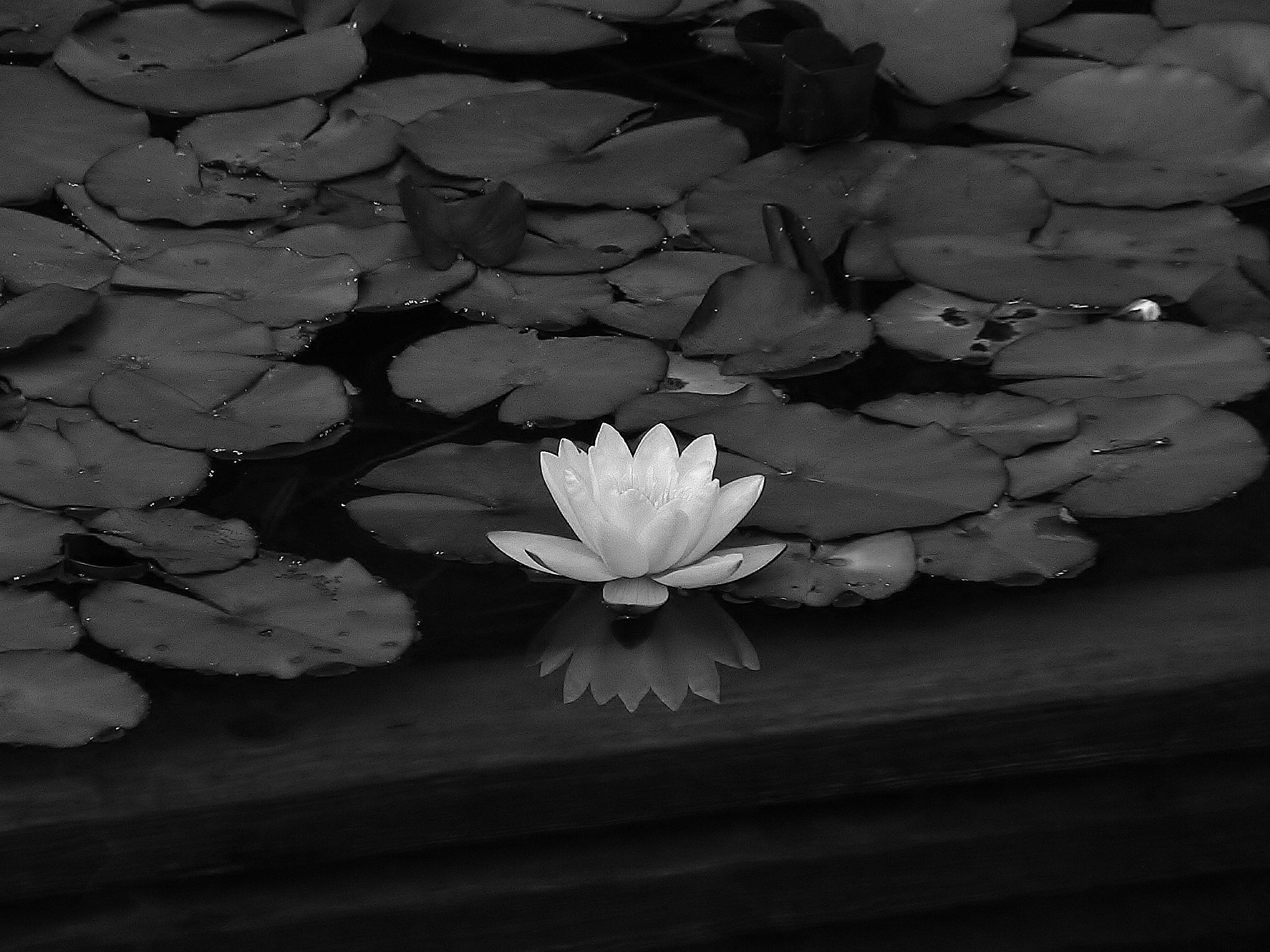 Black Lotus Flower Background Free Download Black And White Flowers
