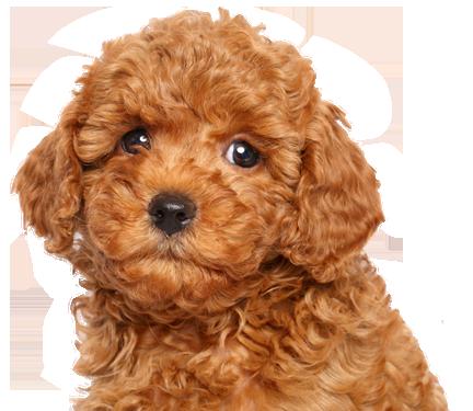 Top Poodle Breeders Minnesota Poodle Breeders Toy Poodle Poodle Poodle Puppy