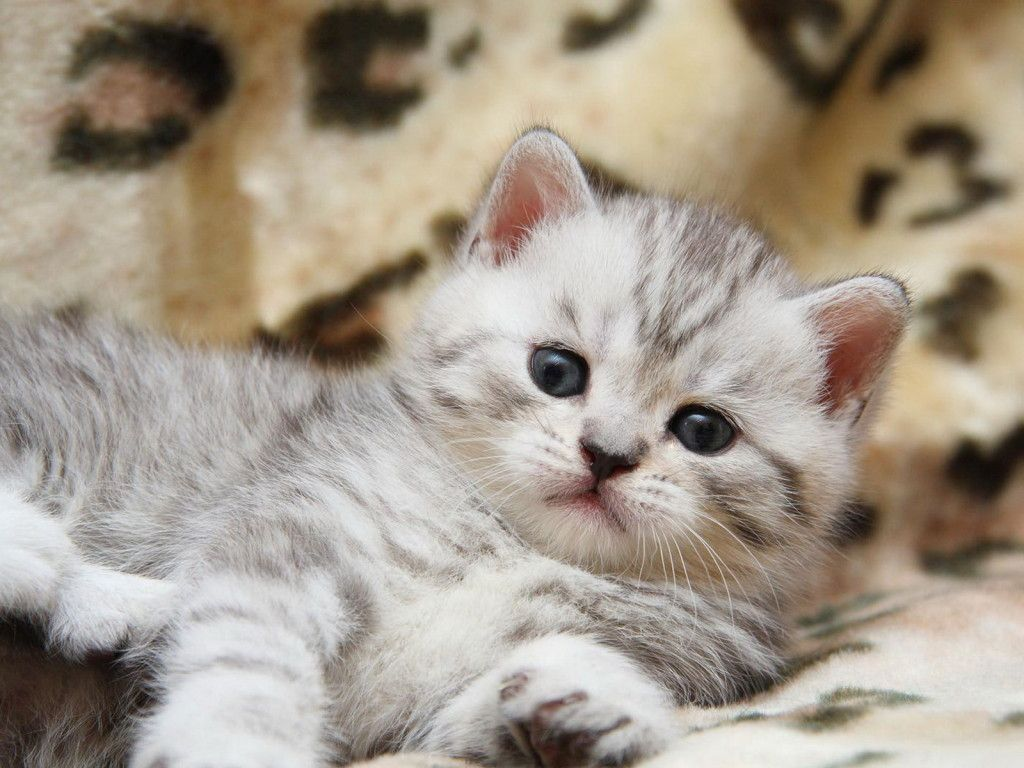 Download Cats Fluffy Kitten Wallpaper 1024x768 Full Hd Wallpapers