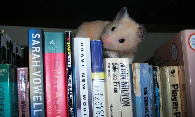 Need To Do Some More Studying Cute Hamsters Small Pets Cute
