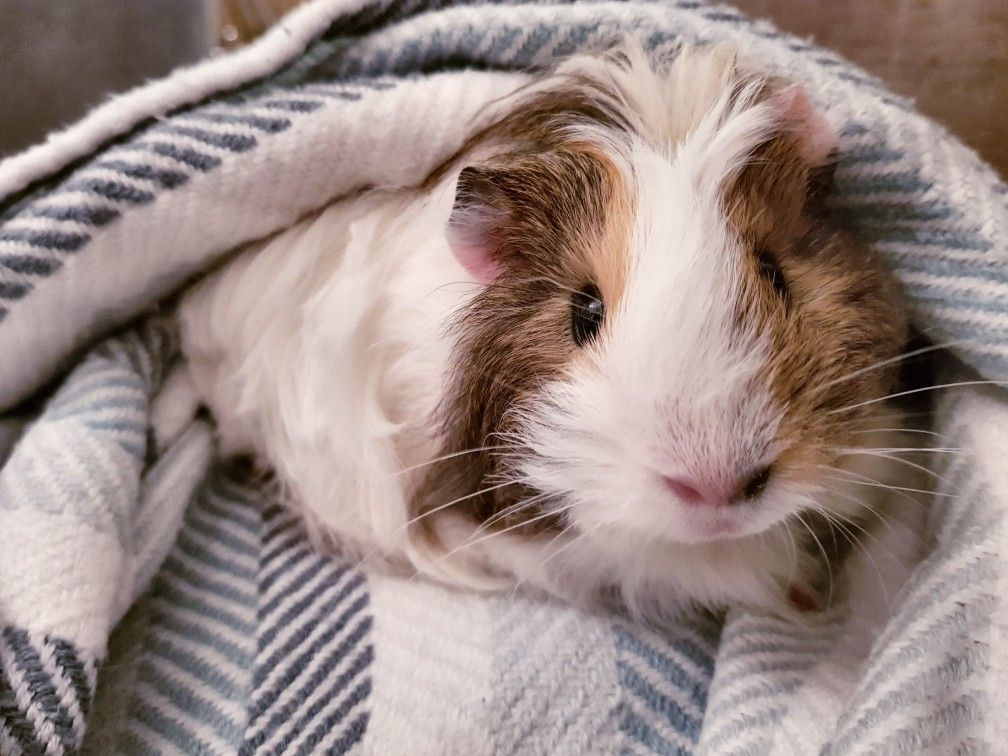 Pin On Guinea Pigs Make Great Pets