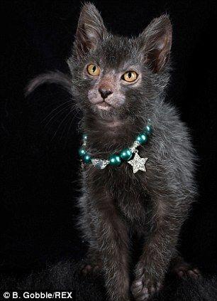 Breeders Have Developed A Cat That Looks Like A Werewolf Lykoi Cat Werewolf Cat Cat Breeds
