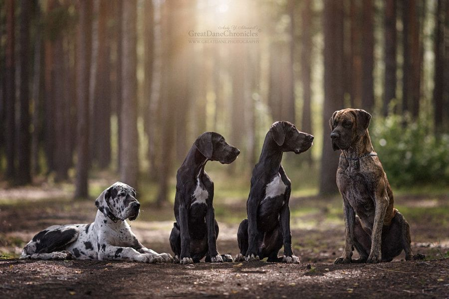 Great Danes X 4 By Andy Seliverstoff Photo 223779697 500px
